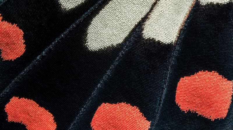 Culture Story: #8 How beautiful are these butterfly wing patterns?