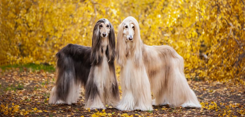 Nature Story: #6 The Afghan Greyhound