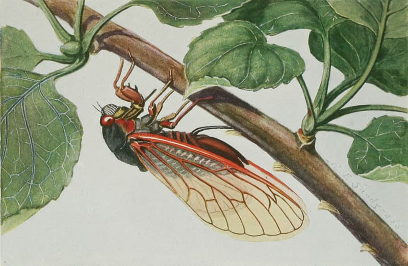 Culture Story: #3 Cicadas can have extended metamorphosis cycles