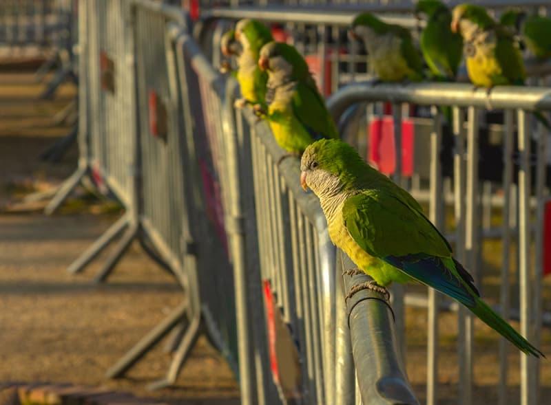 Society Story: #2 The wild parrots of Spain