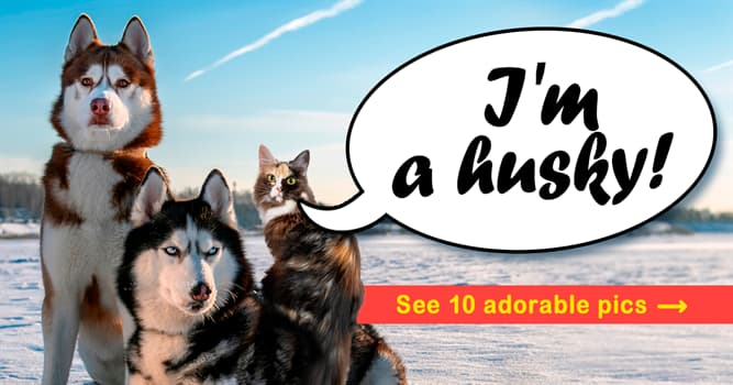 animals Story: Three huskies and a cat – the story of the cutest pack ever