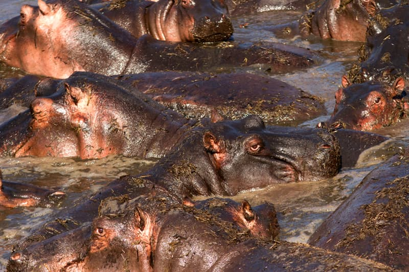 Nature Story: #4 Hippos produce their own sunscreen
