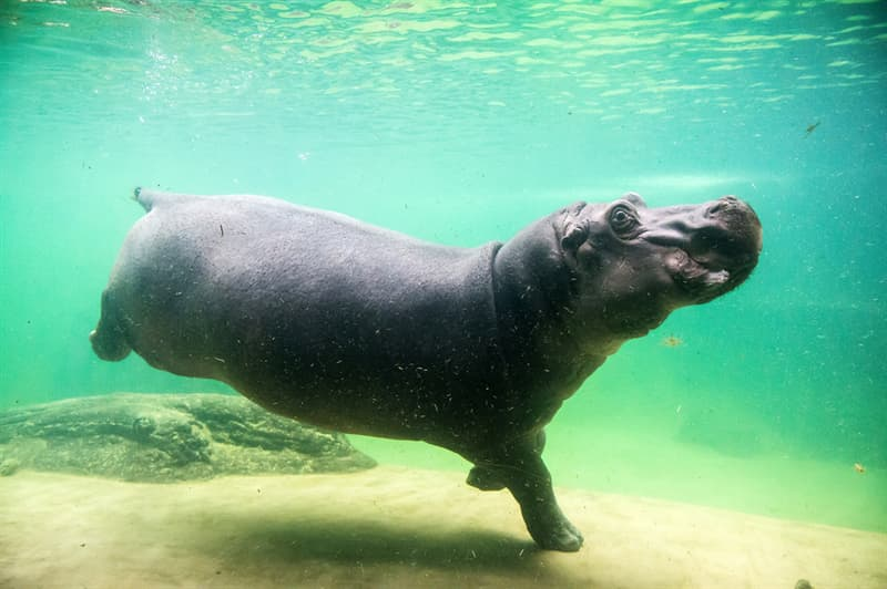 Nature Story: #5 Hippos can stay underwater for five minutes at a time
