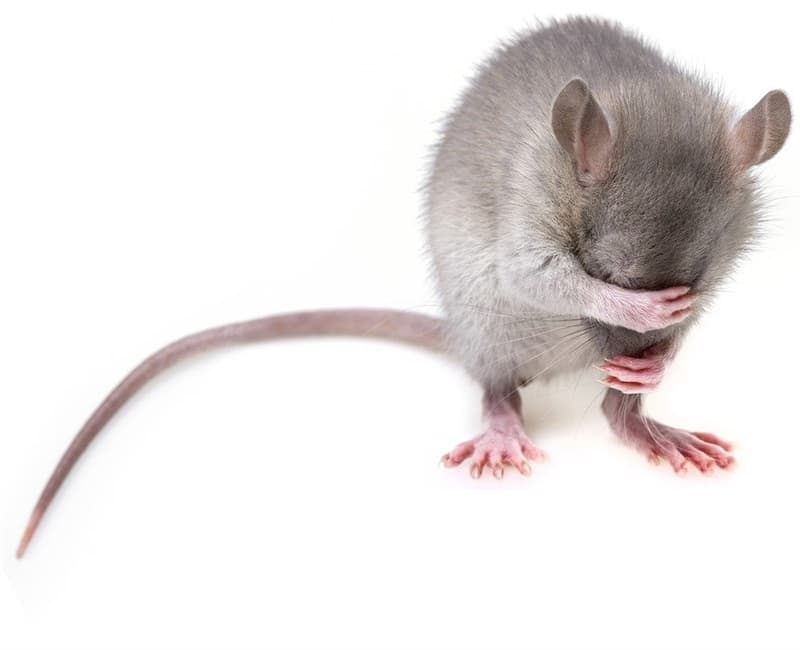 Geography Story: #3 Rats are ticklish