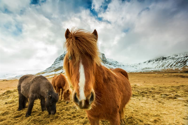 Geography Story: #1 In Iceland, if horses are taken overseas, they can't return back