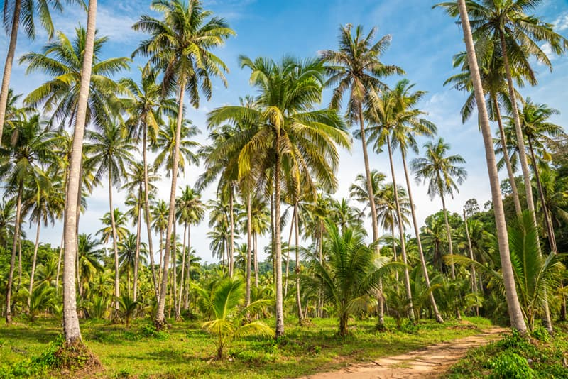 Nature Story: #6 Coconut trees can grow up to 90 feet or 27 meters