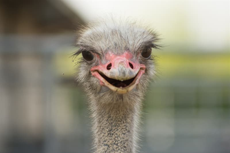 Nature Story: #4 Ostriches do not have teeth