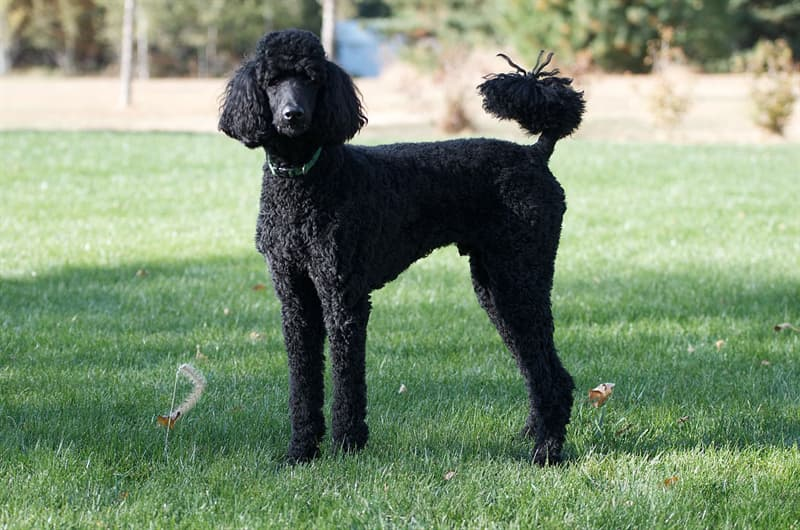 Geography Story: #11 French poodles aren't exactly of French origin. They are greatly believed to have first been bred in Germany