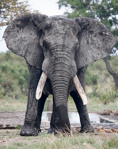 Science Story: #8 ELEPHANTS: they tell each other when there's bees in a place and they have to leave there. They have a sound for it