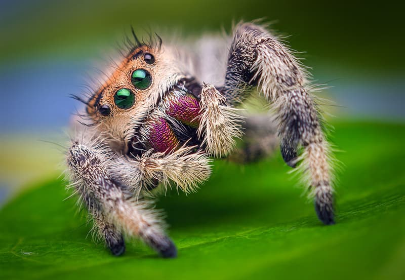 Nature Story: #4 Jumping spiders know when they are being stared at because they have the same vision as we do. Little wonder they like to show off