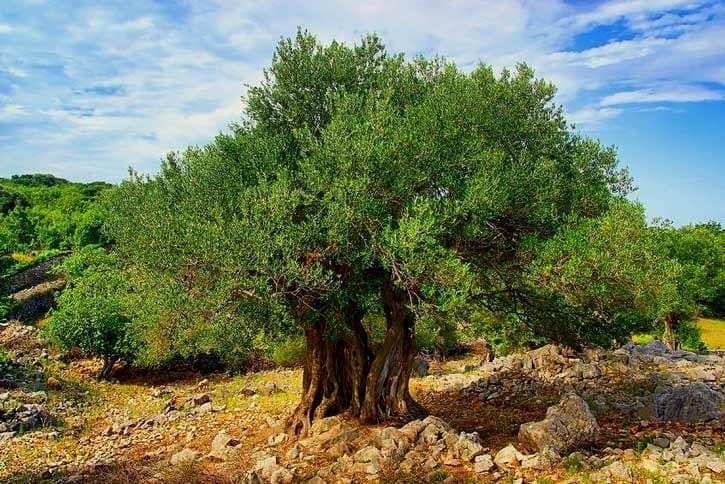 Geography Trivia Question: An olive tree can live over 2000 years