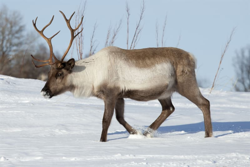 Geography Trivia: Do reindeer like to eat bananas?