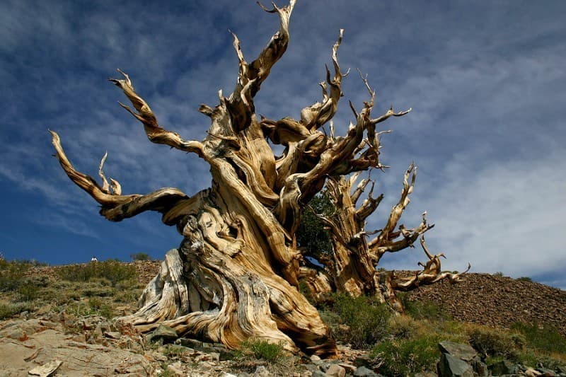 Geography Trivia Question: Where is the oldest individual tree in the world located?