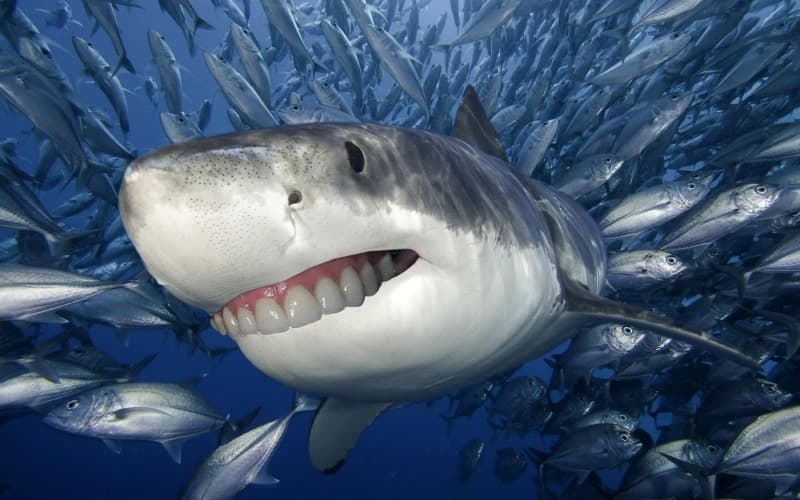 Geography Trivia Question: Up to how many teeth can a shark have?