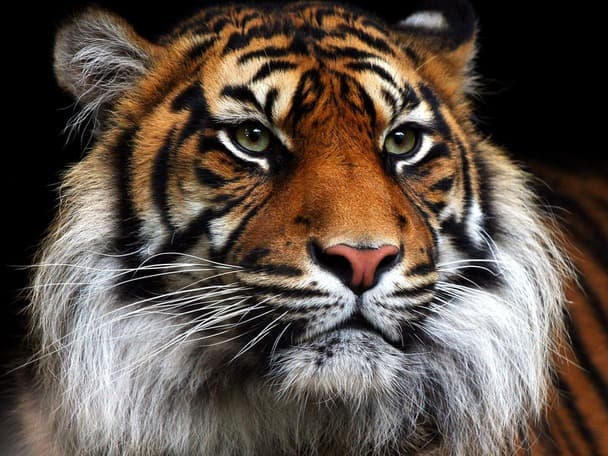 Geography Trivia Question: What is the world's largest species of tiger?