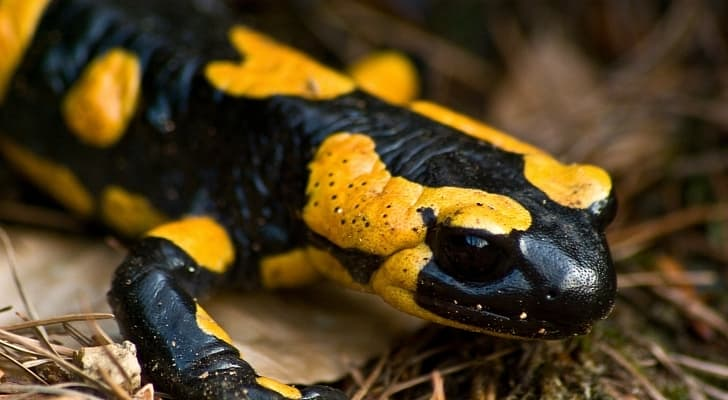 Nature Trivia Question: Salamander belongs to the class:
