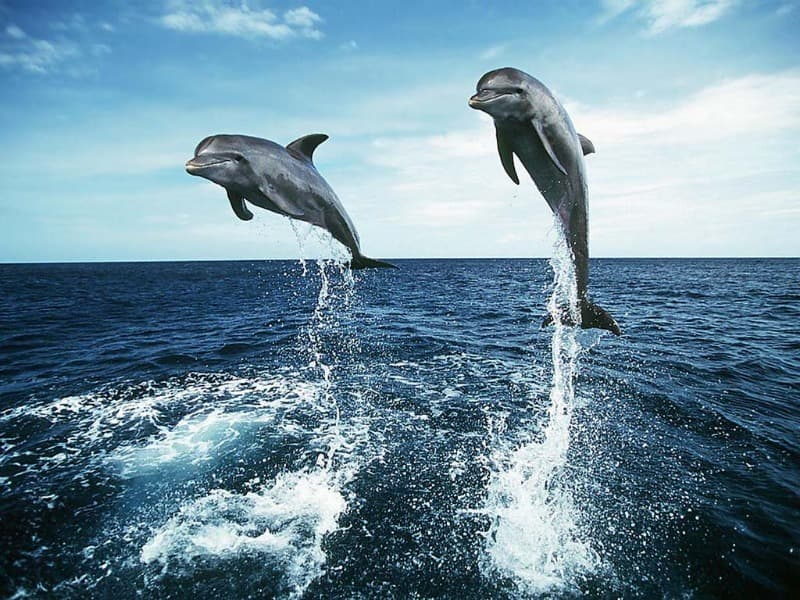 Nature Trivia Question: What is a group of dolphins called?