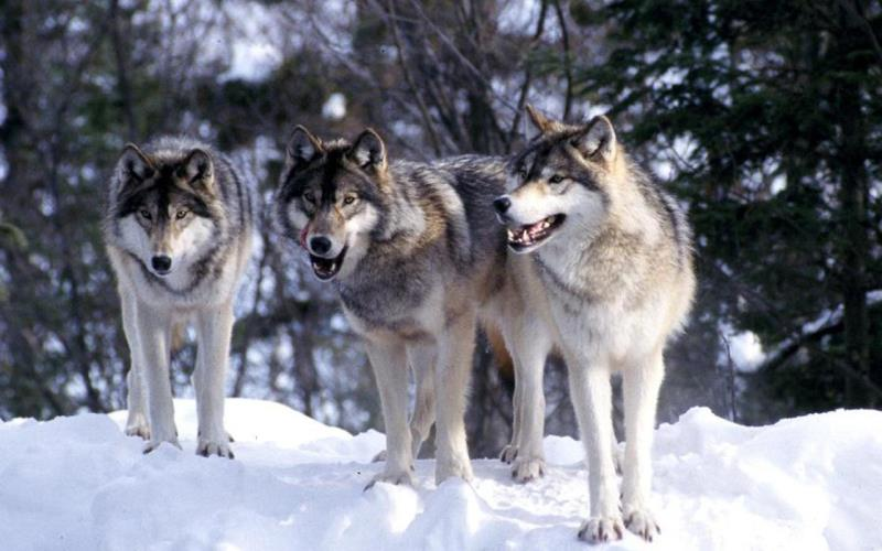 What is a general name for a group of wolves?