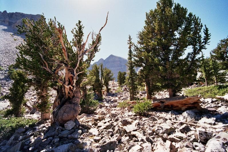 Nature Trivia Question: What kind of pine trees can live for more than 5,000 years?