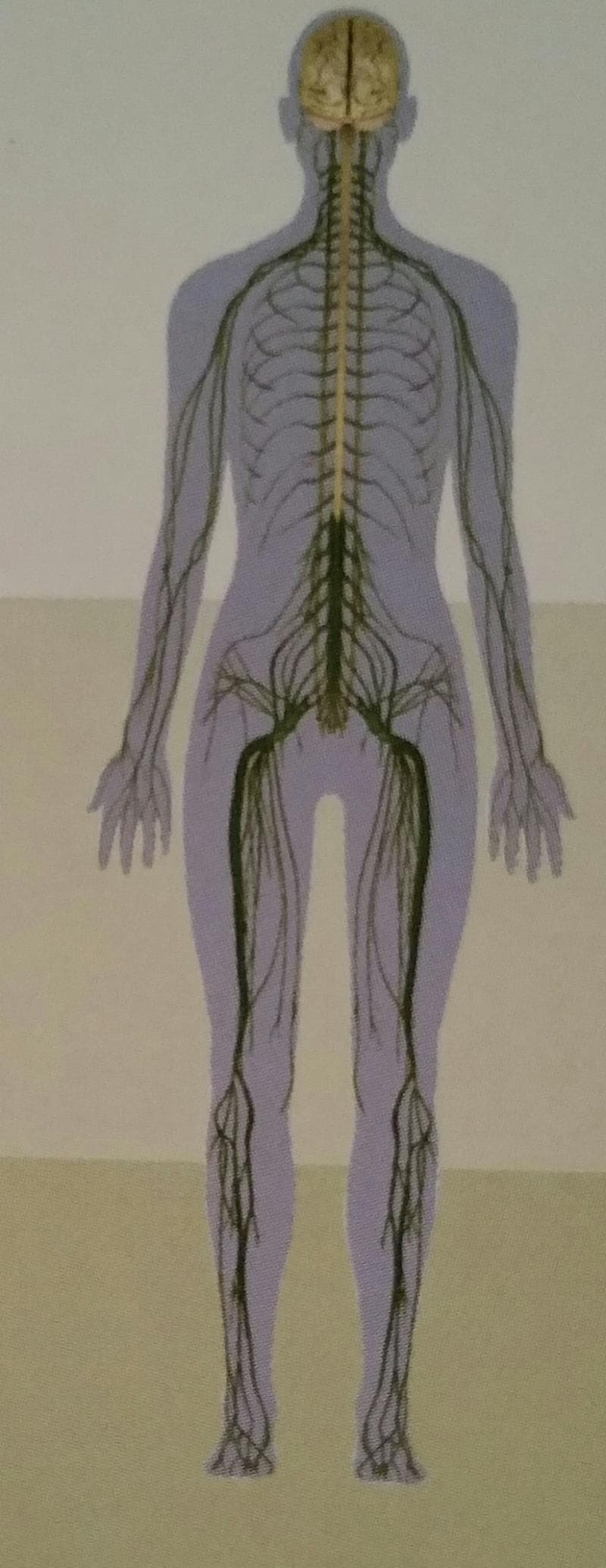 Society Trivia Question: What is the largest nerve in the human body?
