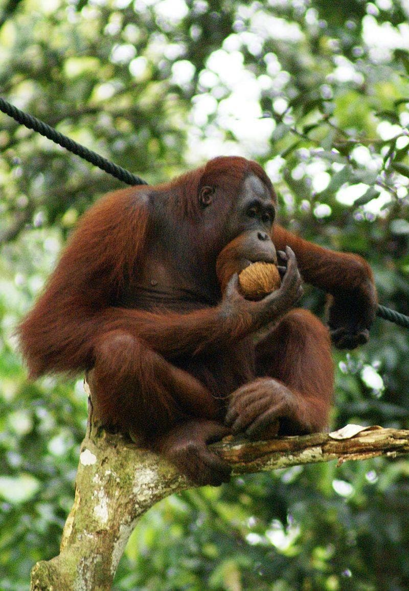 "Nature Trivia Question: What does the name ""Orangutan"" mean?"