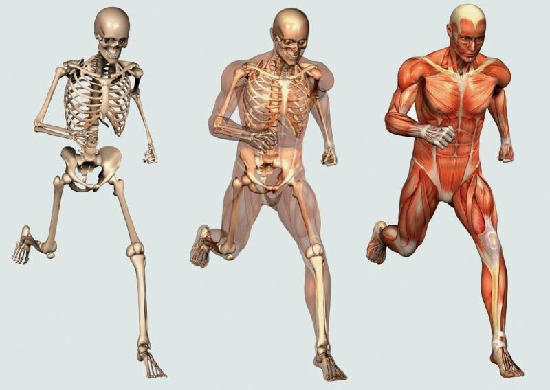Science Trivia Question: Which bone in the human skeleton is the strongest?