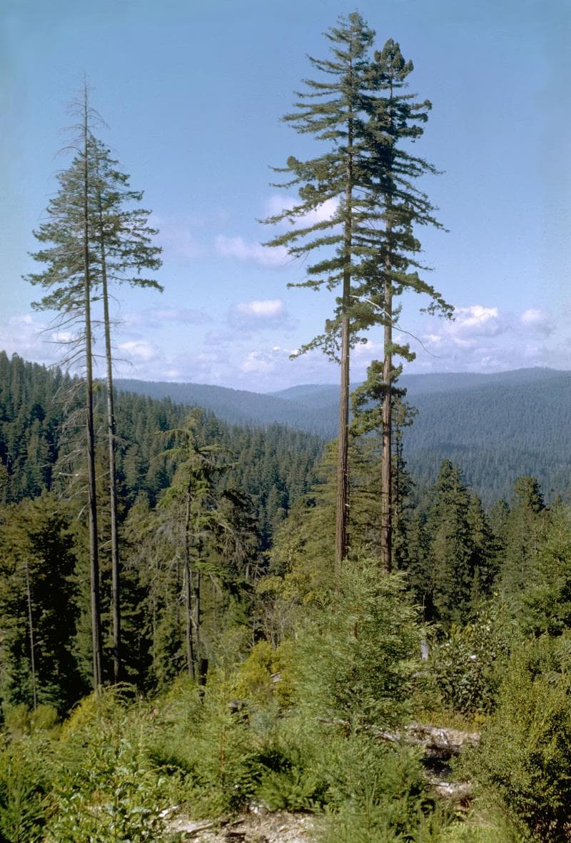 Nature Trivia Question: What's the tallest tree in the world?