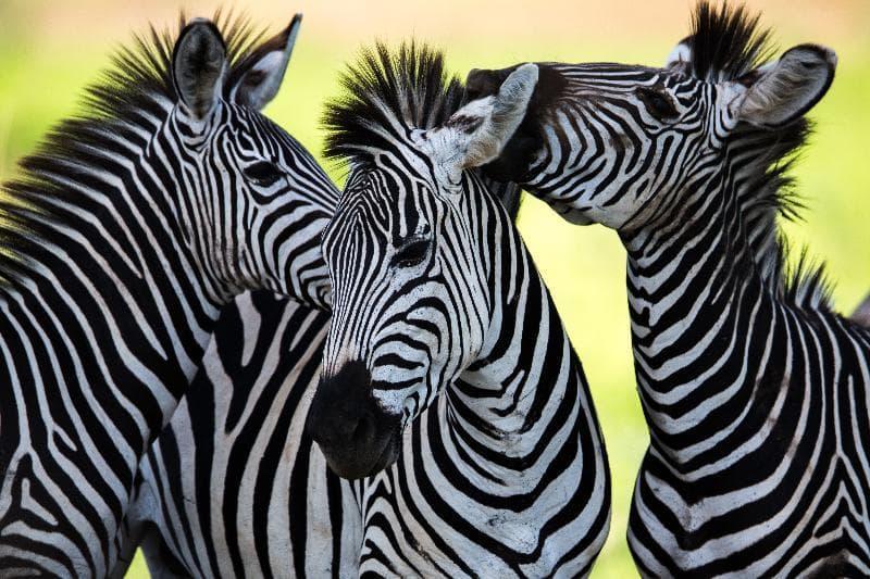 Природа Вопрос: Какого цвета зебры?