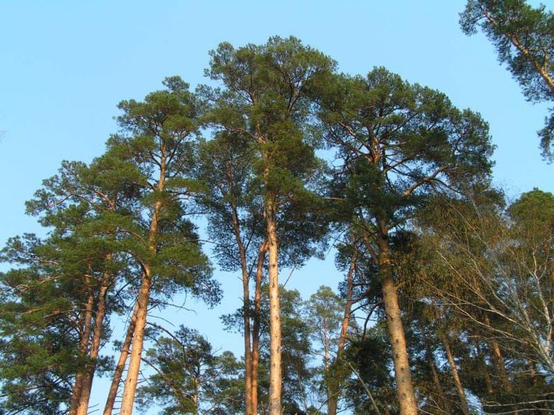 Природа Вопрос: Могут ли хвойные деревья сбрасывать на зиму хвою, подобно лиственным?