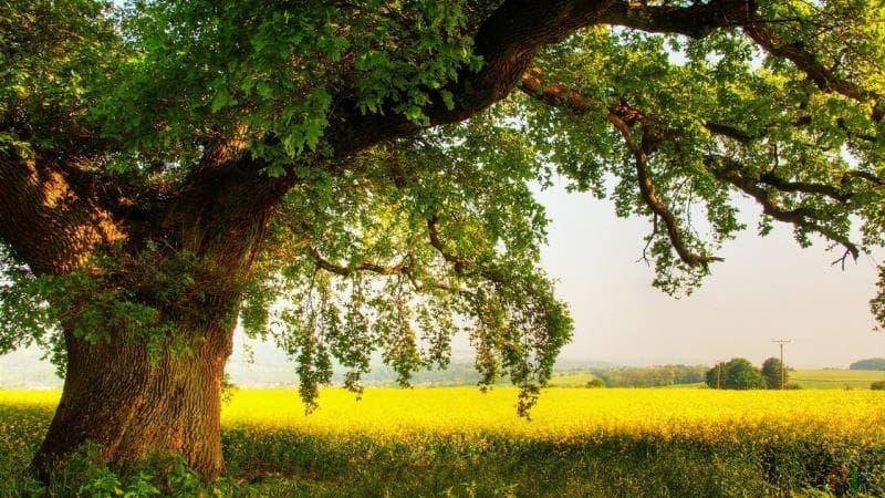 Природа Вопрос: Возраст какого из перечисленных деревьев можно определить по годичным кольцам на срезе?