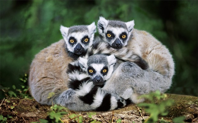 What animal lives in Madagascar that cannot be found anywhere else on the planet?
