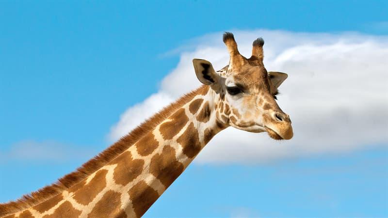 Природа Вопрос: Есть ли у жирафов голосовые связки?