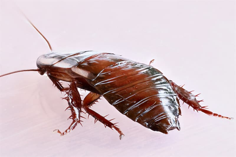 Nature Trivia Question: How long can a cockroach live without its head?