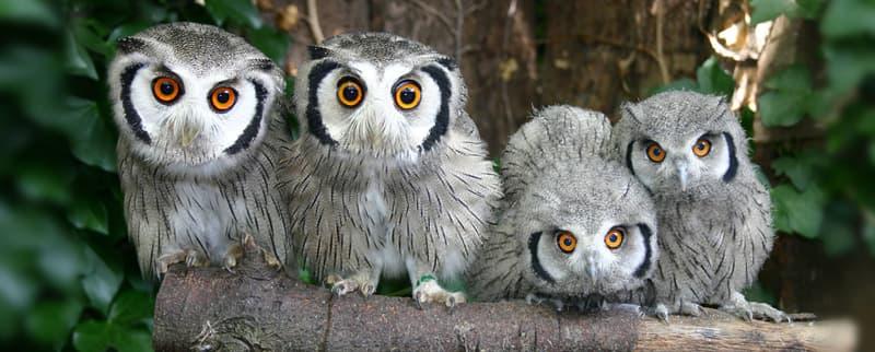Naturaleza Pregunta Trivia: ¿Cómo se le llama a un grupo de búhos?