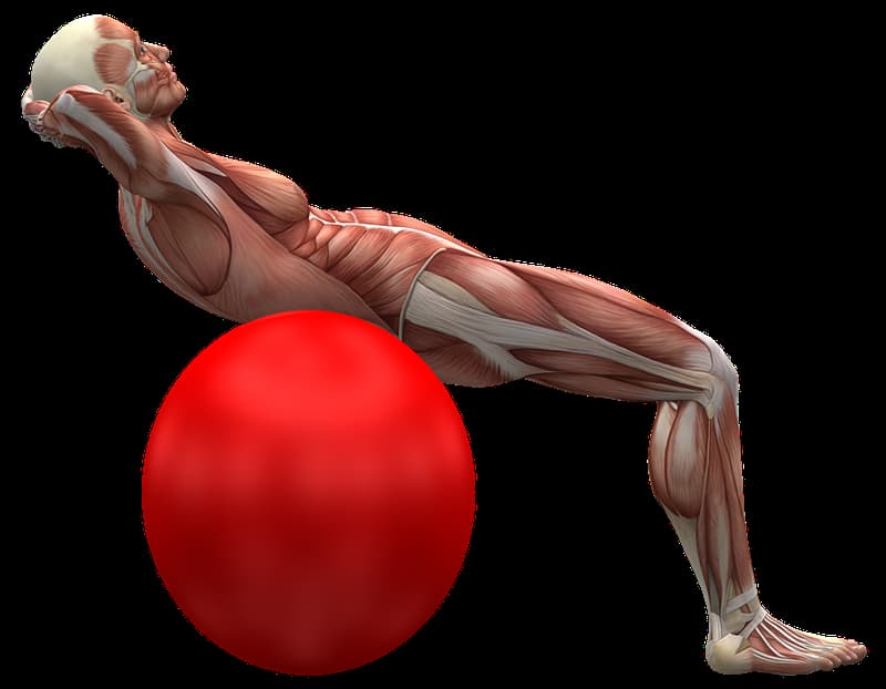 Science Trivia Question: What is the largest muscle in the human body?