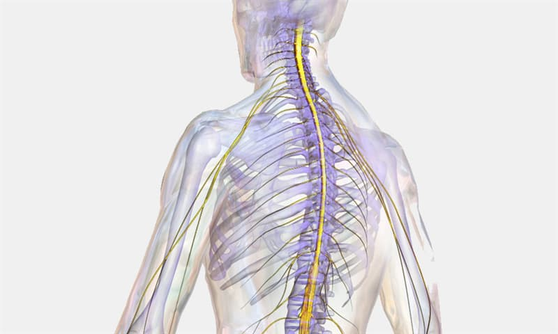 Science Trivia Question: The spinal cord is protected by which of these?