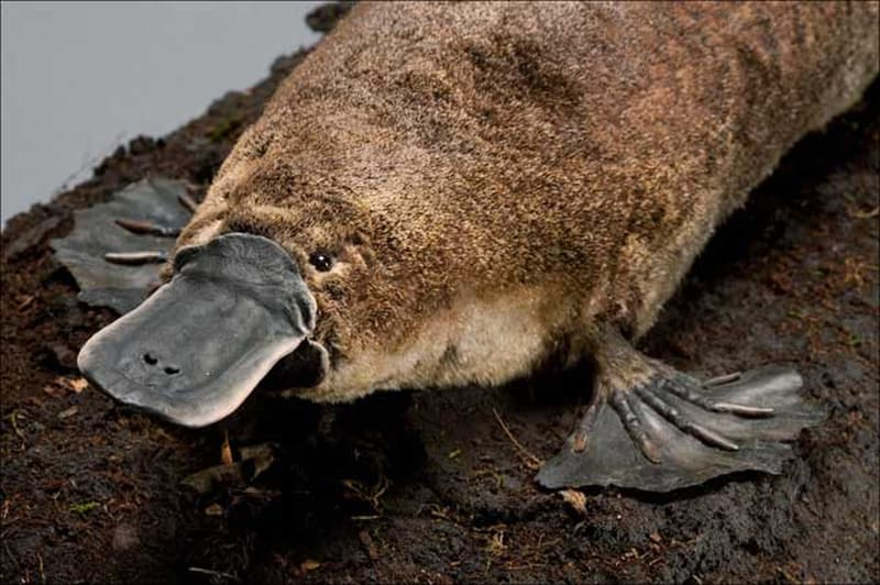 Природа Вопрос: Есть ли млекопитающие, которые не могут  отступать (пятиться назад) ?