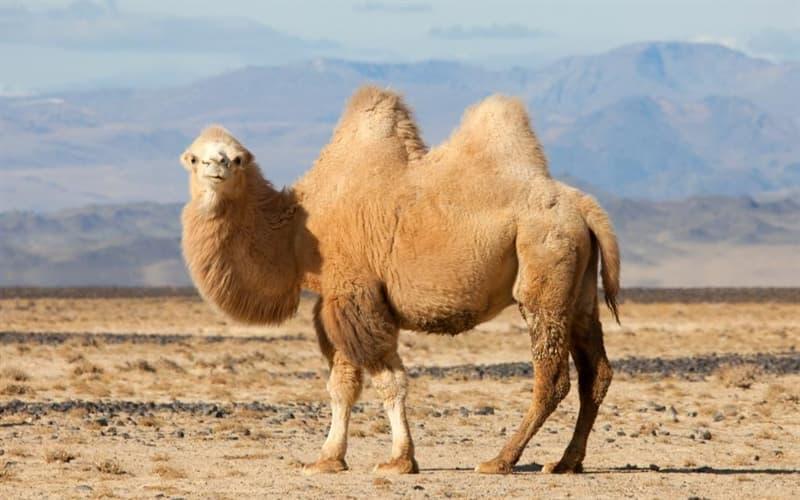 Природа Вопрос: Где верблюд хранит большие запасы воды?