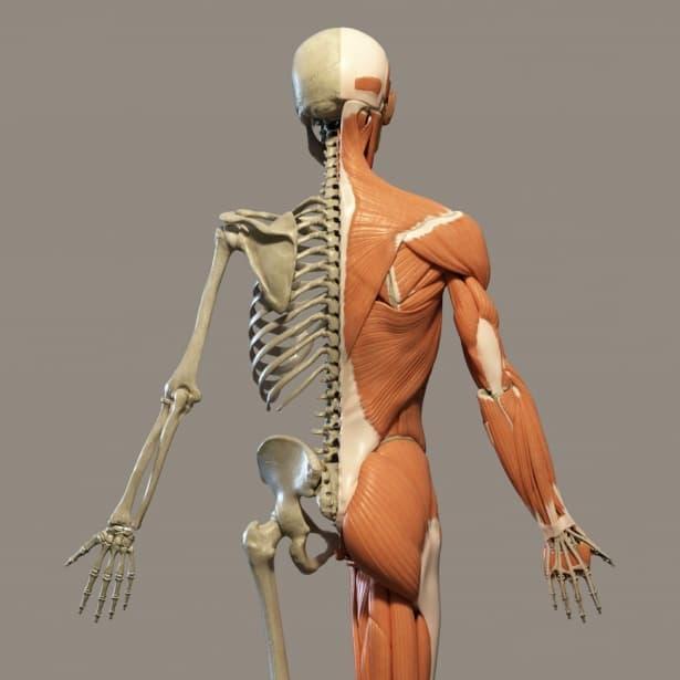 Наука Вопрос: Сколько всего костей в теле взрослого человека?