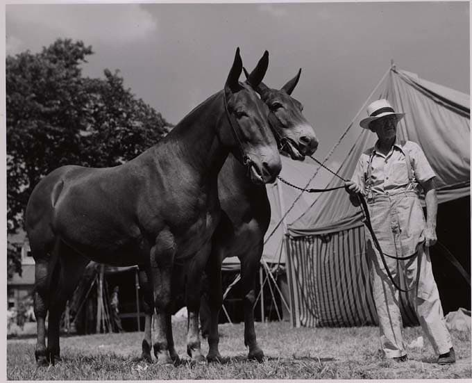 History Trivia Question: How many mules are in a 20 mule team?