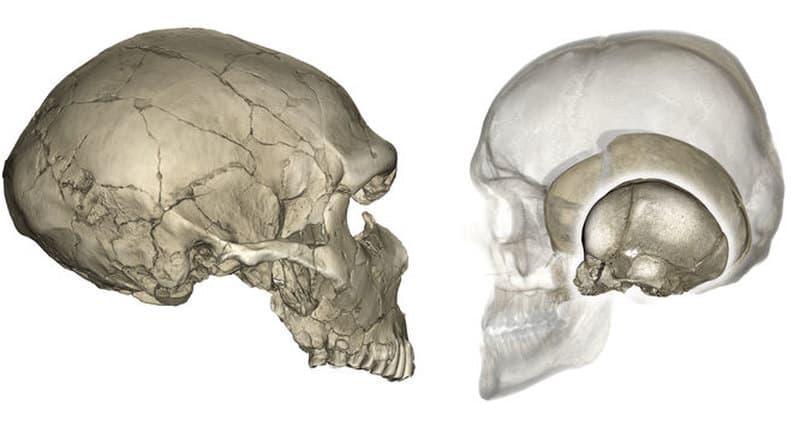 Наука Вопрос: Из какого количества костей состоит череп человека (без учета зубов)?