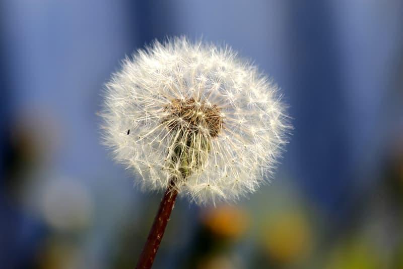 Наука Вопрос: Как далеко могут распространиться по воздуху семена растений?