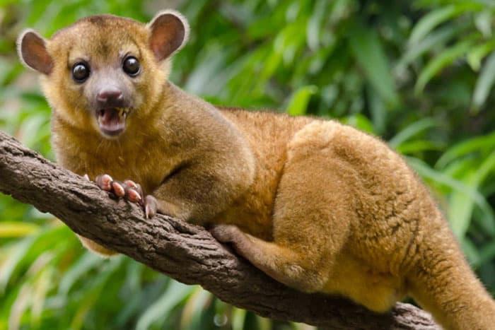 Природа Вопрос: Симпатичный зверек, изображенный на фото, называется кинкажу. А где он обитает?