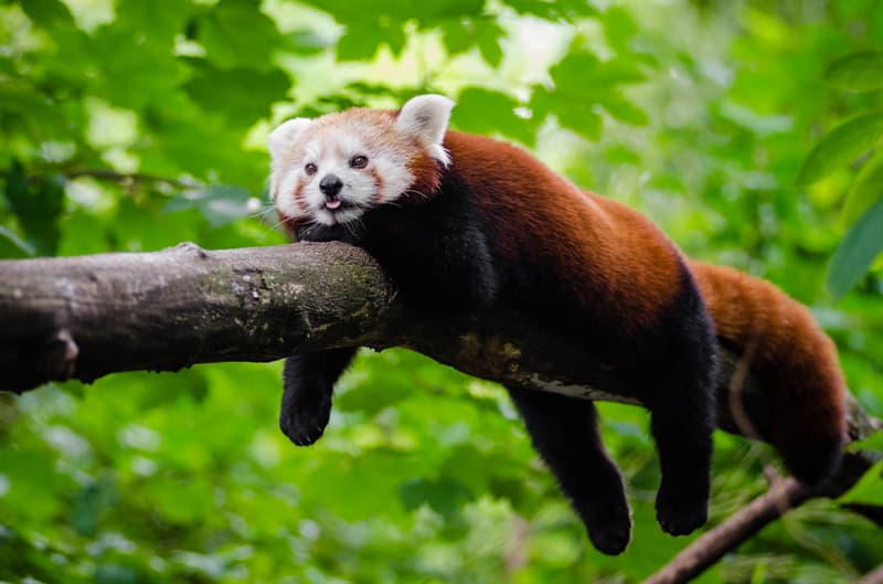 Nature Trivia Question: The red panda is related to the Giant Panda.