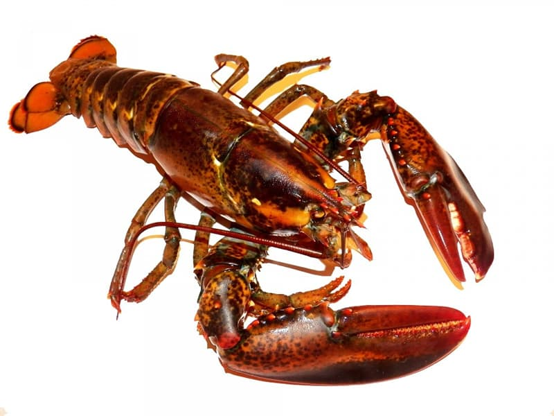 Nature Trivia Question: What is the maximum speed at which a lobster can move?