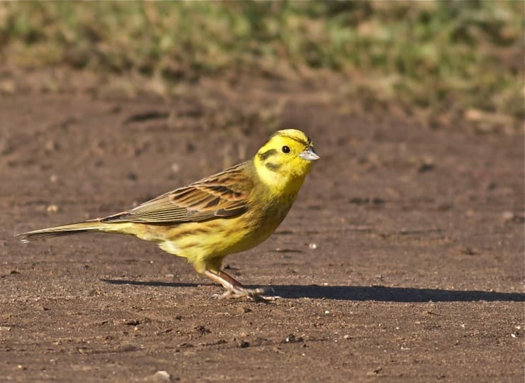 History Trivia Question: What state is nicknamed the yellowhammer state?