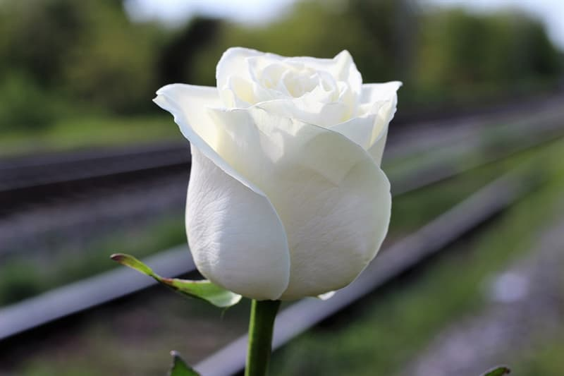 History Trivia Question: What was the original White Rose Society?