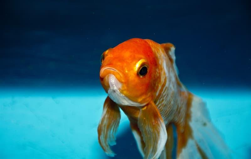 """Природа Вопрос: Золотые рыбки — вид пресноводных лучепёрых рыб семейства карповых. А к какому именно роду карповых принадлежат """"золотые рыбки""""?"""