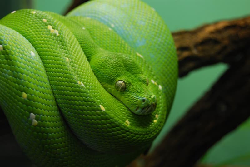 Nature Trivia Question: Can snakes eat themselves (self-cannibalize)?