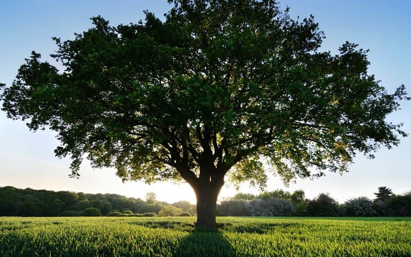 """География Вопрос: Где находится самое """"одинокое"""" дерево в мире?"""